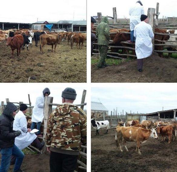 В Надтеречном районе биркуют скот