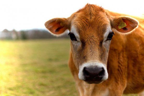 В Чечне снизился уровень заболеваемости нодулярным дерматитом крупного скота