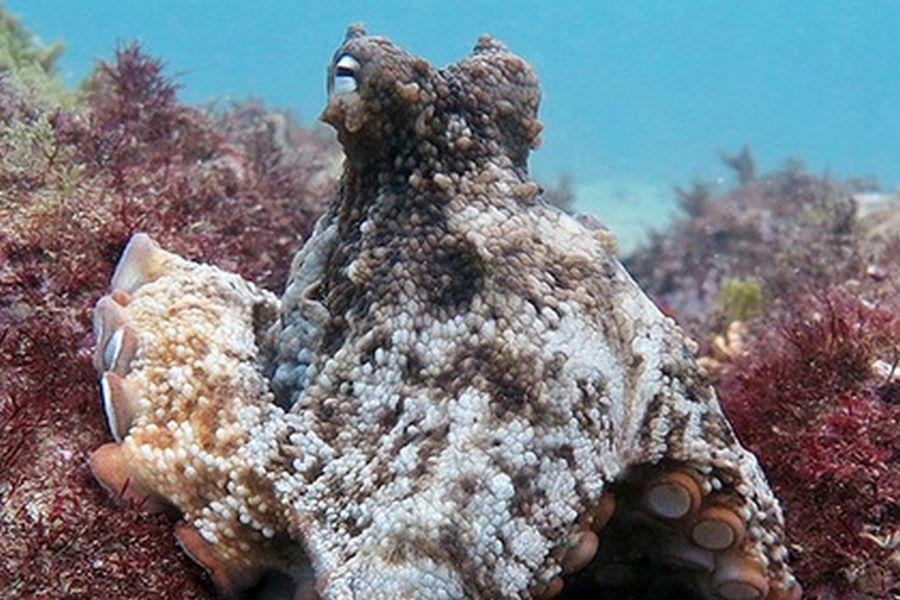У берегов Австралии найдет город осьминогов